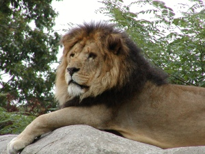 Zoo New England - Lion